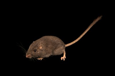 Photo: Desert pocket mouse (Chaetodipus penicillatus) in the black phase from Greenlee County, AZ. This species lives on dark lava flows and its fur matches its habitat well.