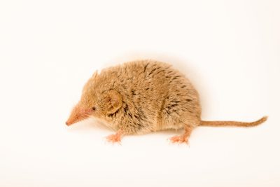 Photo: Desert shrew (Notiosorex crawfordi) from a private collection.
