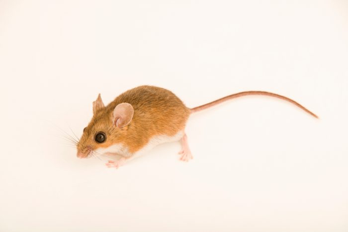 Photo: White-footed deer mouse (Peromyscus leucopus bairdii) at Bay Beach Wildlife Sanctuary