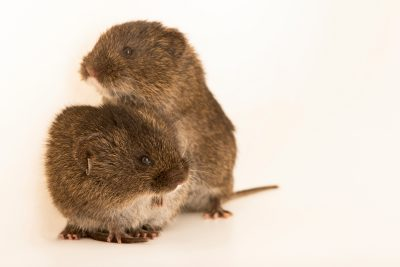 Photo: Amargosa voles (Microtus californicus scirpensis) at the University of California, Davis school of Veterinary Medicine.