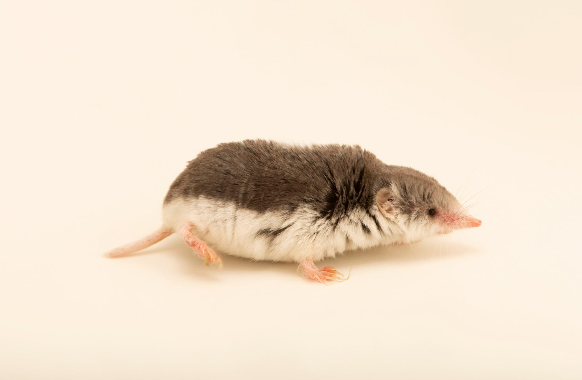 Photo: Piebald shrew (Diplomesodon pulchellum) at the Moscow Zoo.