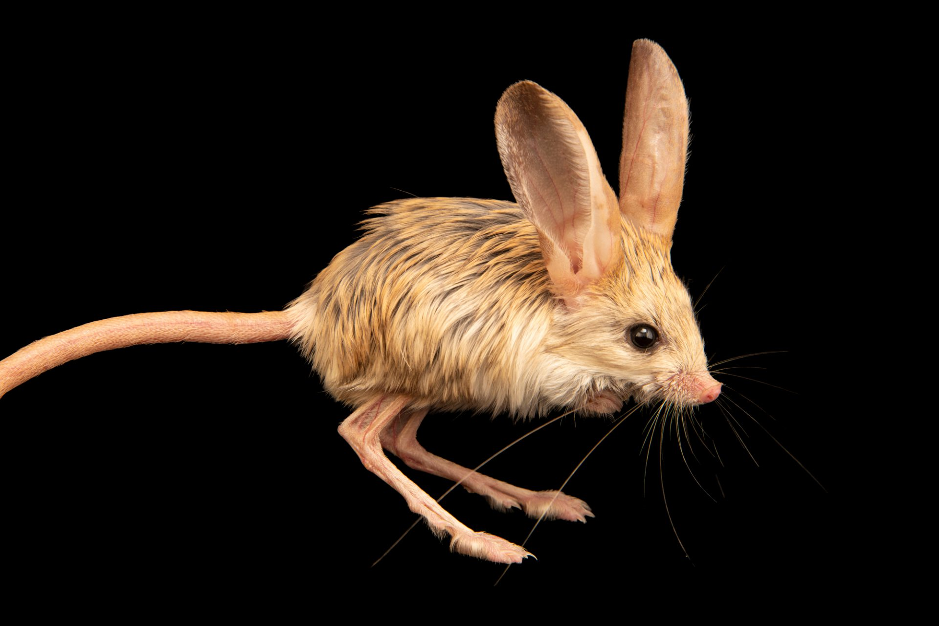 Photo: Long-eared jerboa (Euchoreutes naso) at the Moscow Zoo.