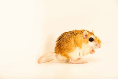 Photo: Large North African gerbil (Gerbillus campestris) at Wroclaw Zoo in Poland.