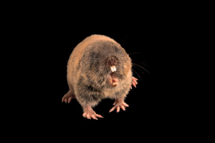 Photo: Eastern mole vole (Ellobius tancrei) at the Moscow Zoo.
