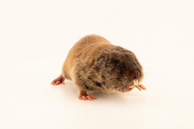 Photo: Eastern mole vole (Ellobius tancreie) at the Moscow Zoo.