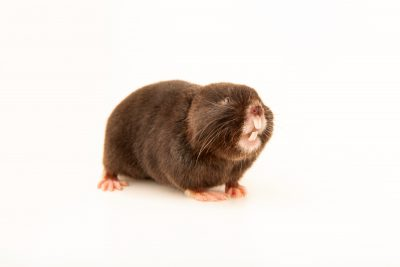 Photo: Northern mole vole (Ellobius talpinus) at the Moscow Zoo.
