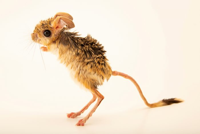 Photo: Small five-toed jerboa (Allactaga elater) at the Moscow Zoo.
