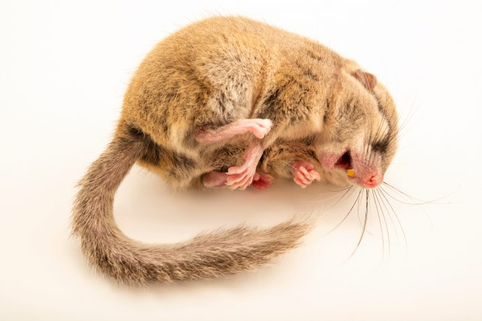 Photo: Forest dormouse (Dryomys nitedula) at the Moscow Zoo.