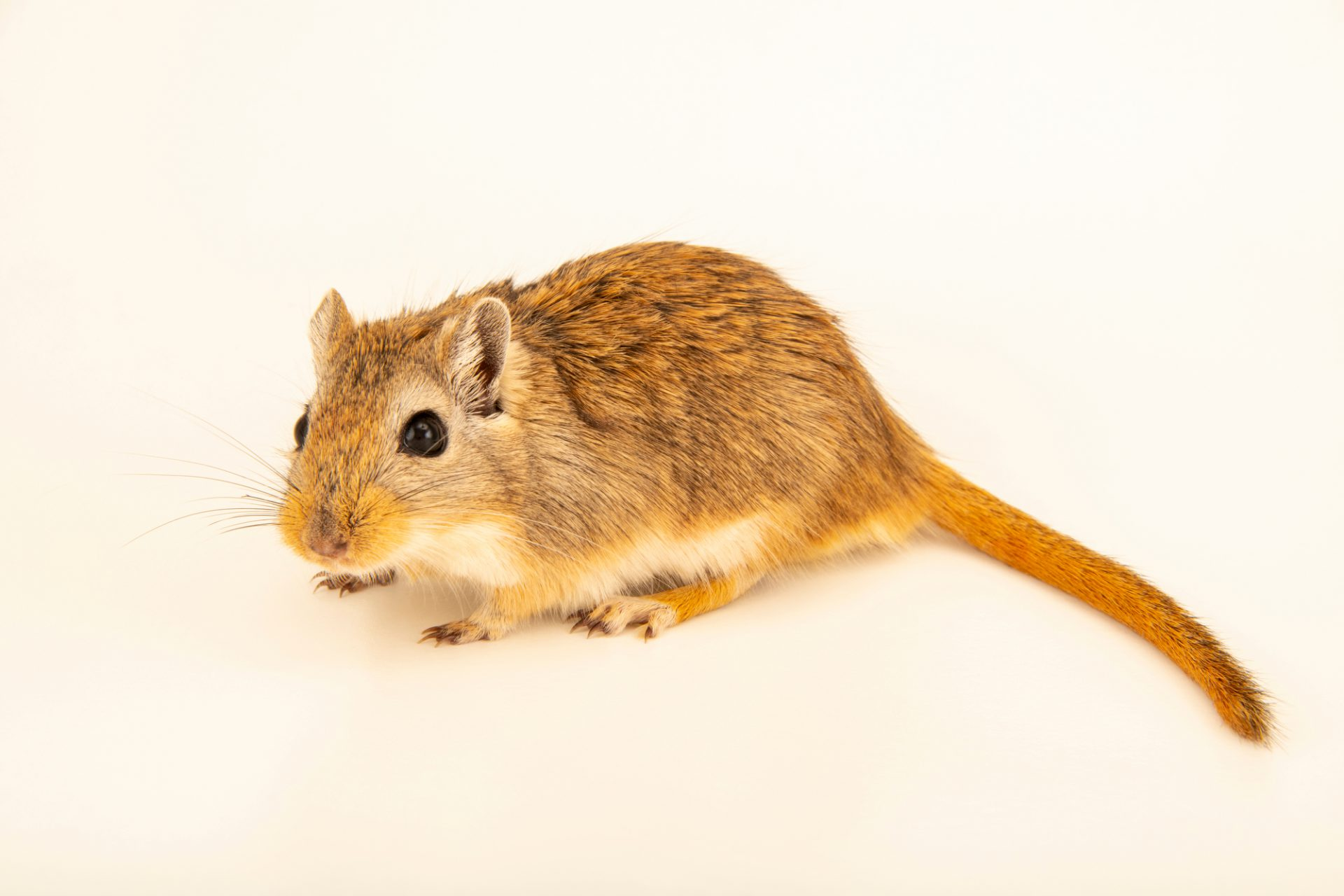 Photo: Mongolian gerbil (Meriones unguiculatus) wild caught in Mongolia, at the Moscow Zoo.