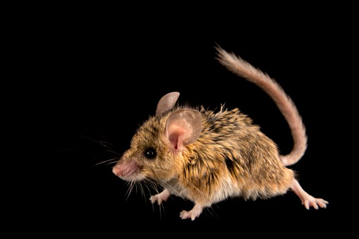 Picture of a mouse-like hamster (Calomyscus bailwardi) at the Moscow Zoo.