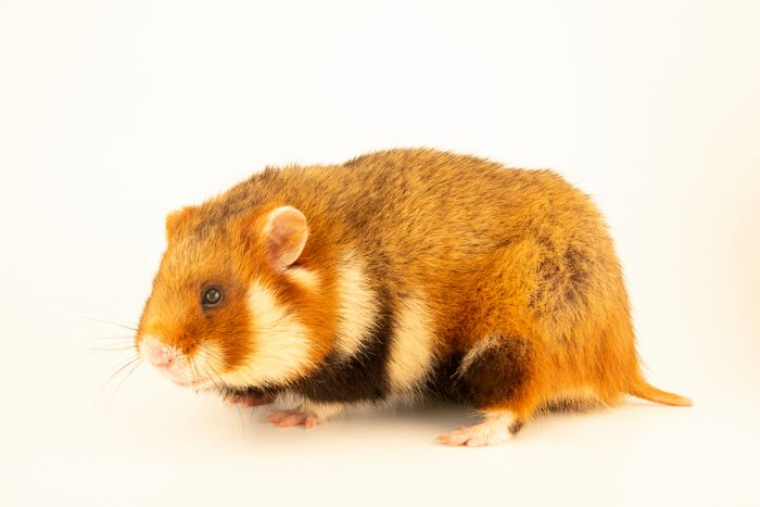 Photo: European hamster (Cricetus cricetus) at the Moscow Zoo.