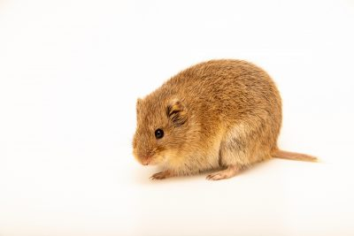 Photo: Raddei vole (Lasiopodomys raddei) at the A.N. Severtsov Institute of Ecology and Evolution Russian Academy of Science.