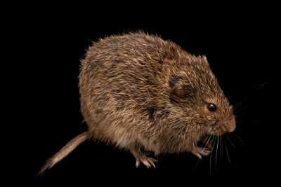 Photo: Narrow-headed vole (Microtus gregalis) at the A.N. Severtsov Institute of Ecology and Evolution Russian Academy of Science.
