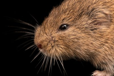 Photo: Mandarin vole (Lasiopodomys mandarinus vinogradov) at the A.N. Severtsov Institute of Ecology and Evolution Russian Academy of Science.