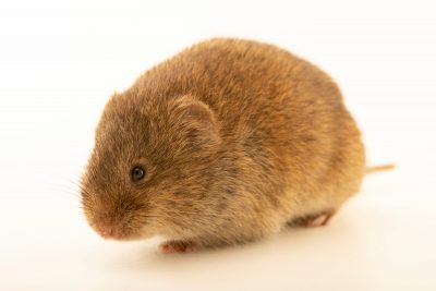 Photo: Transcaspian vole (Microtus transcaspicus) at the A.N. Severtsov Institute of Ecology and Evolution Russian Academy of Science.