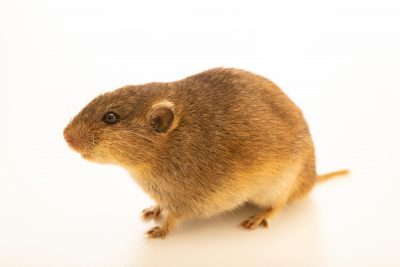 Photo: Social vole (Microtus socialis nikolaevi) at the A.N. Severtsov Institute of Ecology and Evolution Russian Academy of Science.