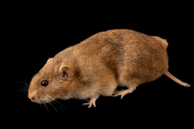 Photo: Paradox vole (Microtus paradoxus) at the A.N. Severtsov Institute of Ecology and Evolution, Russian Academy of Science.