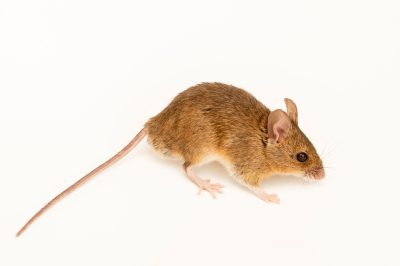 Photo: A long-tailed field mouse (Apodemus sylvaticus) at the Biodiversity Hall of Natural History and Science Museum.