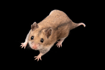 Photo: A Chinese hamster (Cricetulus griseus) at Tierpark Berlin.
