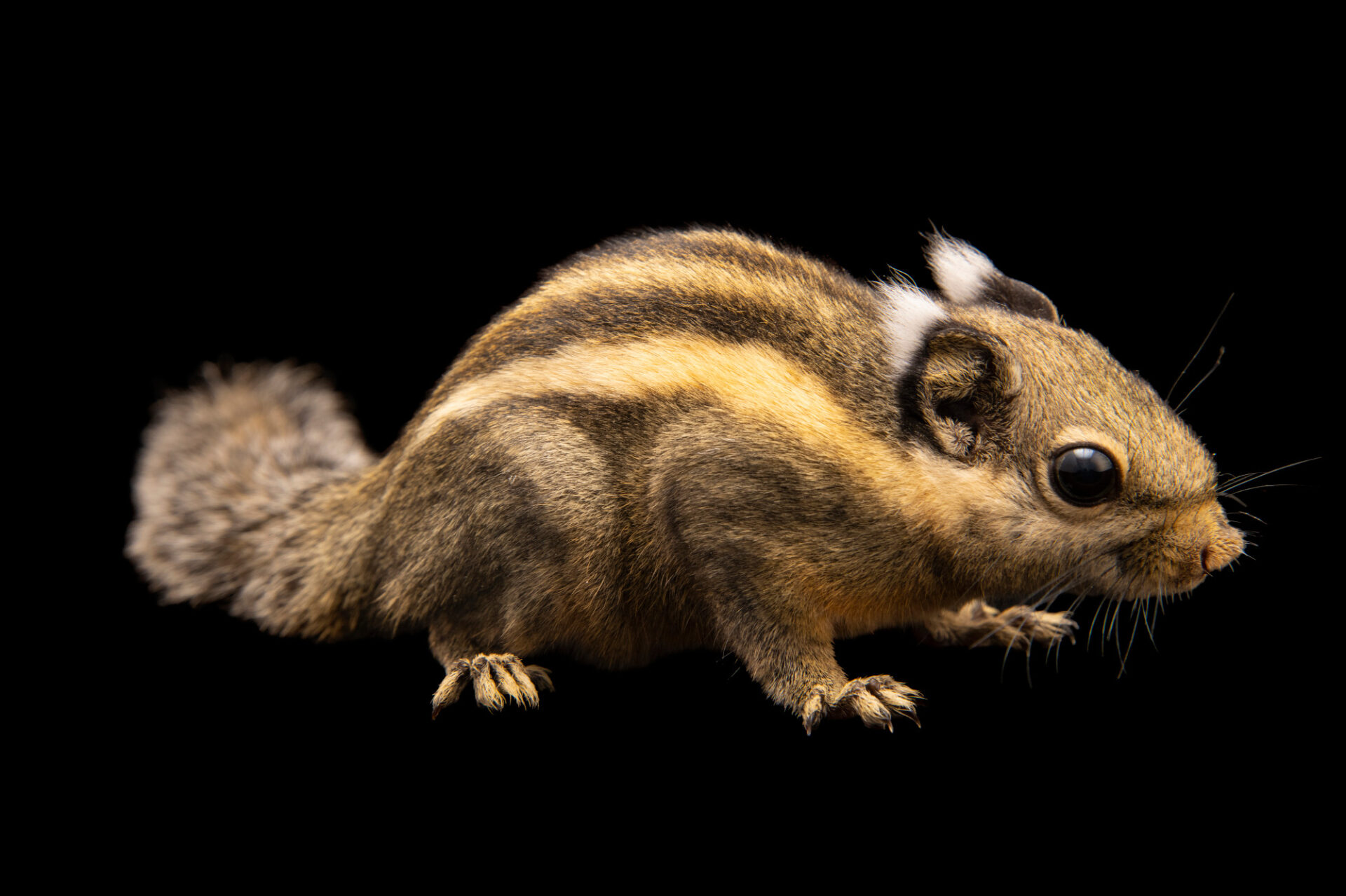 Photo: A Himalayan striped squirrel (Tamiops macclellandi) at Tierpark Berlin.