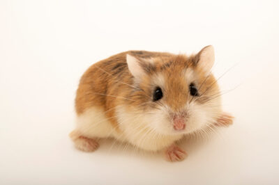 Photo: A Roborovski hamster (Phodopus roborovskii) at the Berlin Zoo.