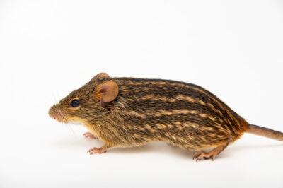 Photo: A typical striped grass mouse (Lemniscomys striatus ardens) at the Prague Zoo.