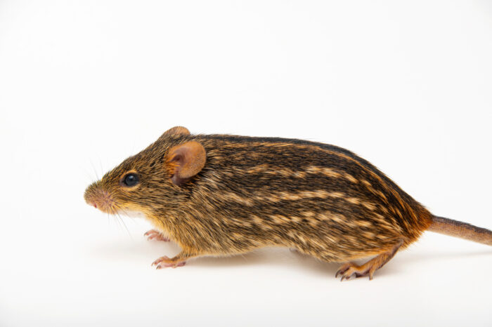 Photo: A typical striped grass mouse (Lemniscomys striatus ardens) at the Prague Zoo.