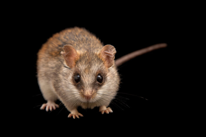 Photo: An acacia rat (Thallomys loringi) at the Prague Zoo.