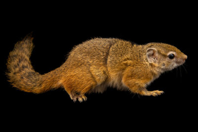 Photo: A Smith's bush squirrel (Paraxerus cepapi) at the Prague Zoo.