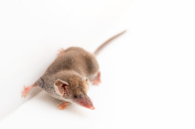 Photo: An Etruscan shrew (Suncus etruscus) at the Prague Zoo.