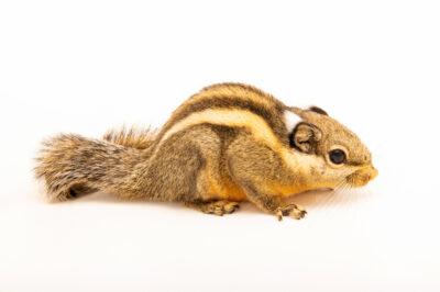 Photo: A Himalayan striped squirrel (Tamiops macclellandi) at Tierpark Berlin.