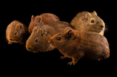 Photo: Five Brazilian guinea pigs (Cavia aperea) from the wild at the Membeca Lagos Farm, near Rio de Janeiro, Brazil.