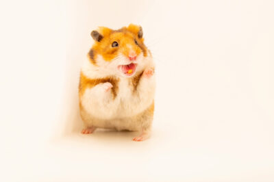 Photo: A golden hamster (Mesocricetus auratus) at the Plzen Zoo in the Czech Republic.