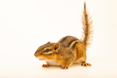 Photo: An eastern chipmunk (Tamias striatus griseus) at the Wildlife Rehab Center of Minnesota.