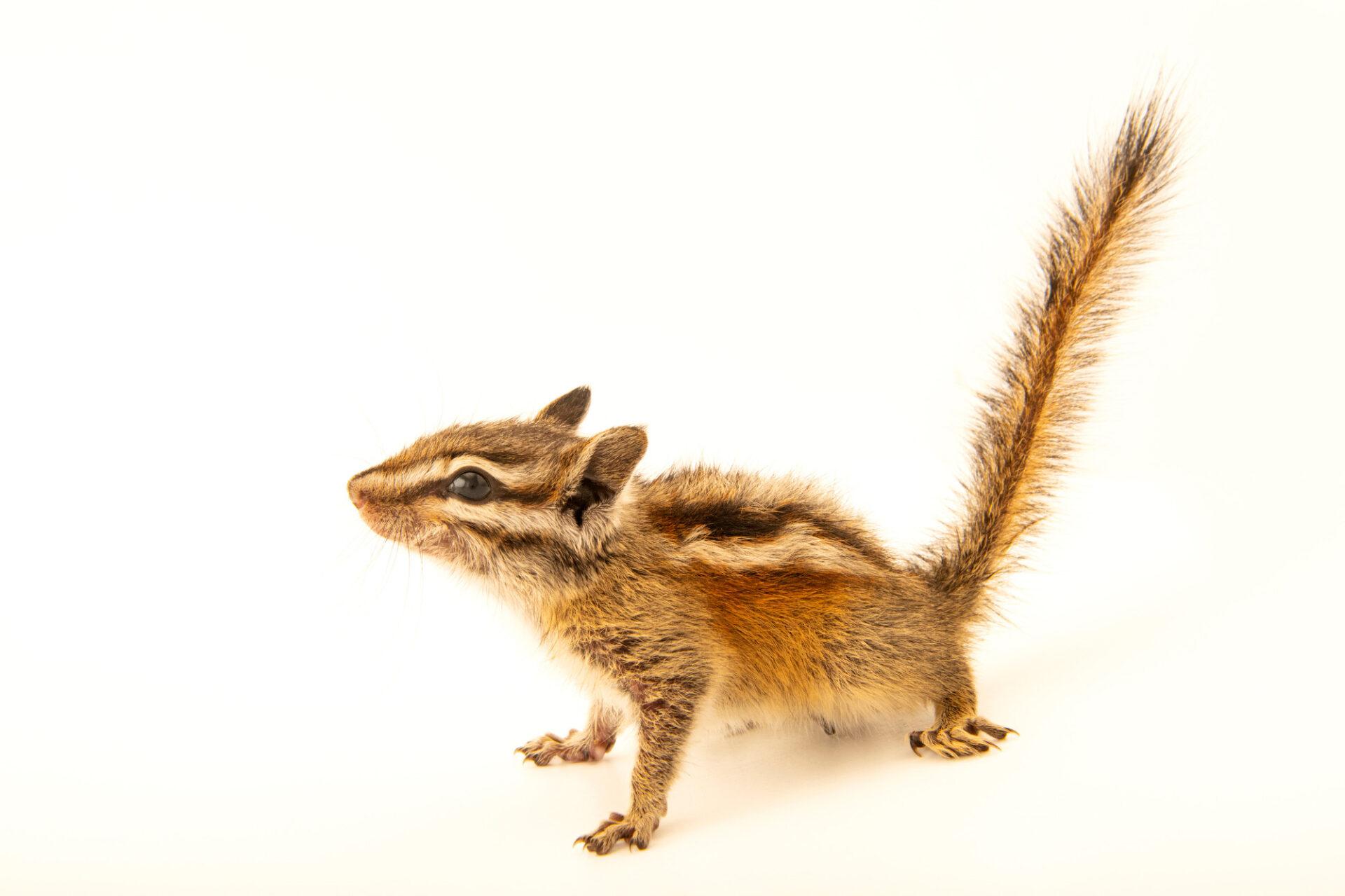 Photo: A Colorado chipmunk (Neotamias quadrivittatus) at Nebraska Wildlife Rehab.
