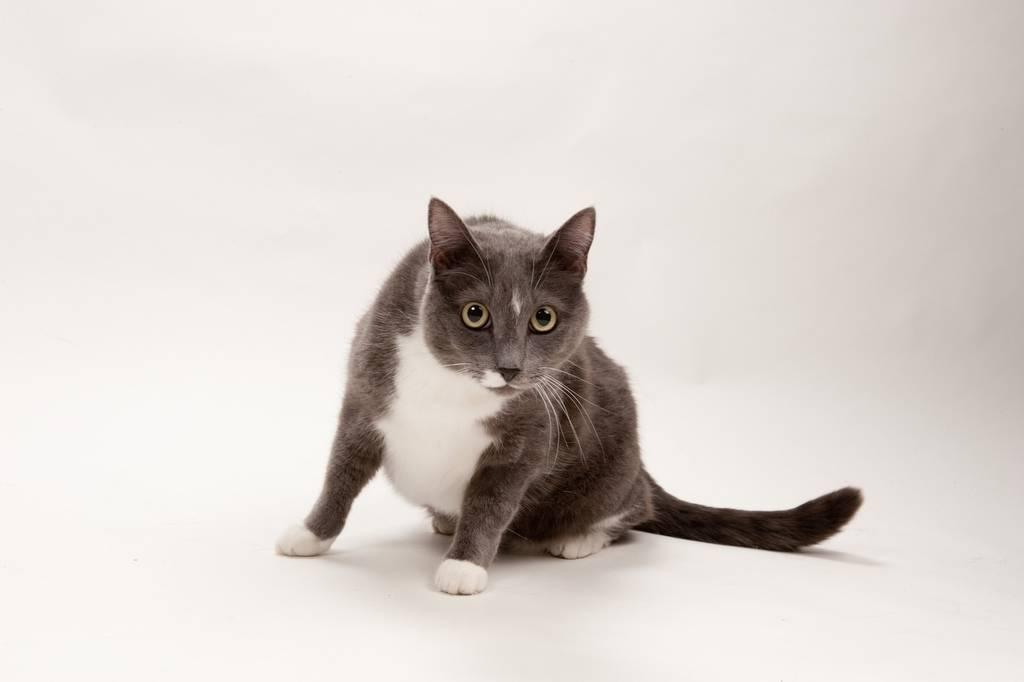 Photo: Midge the domestic shorthair cat.