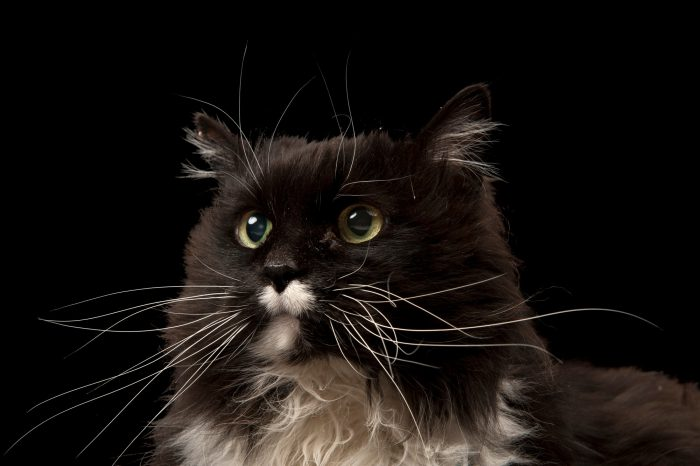 Photo: A long-haired tuxedo cat.