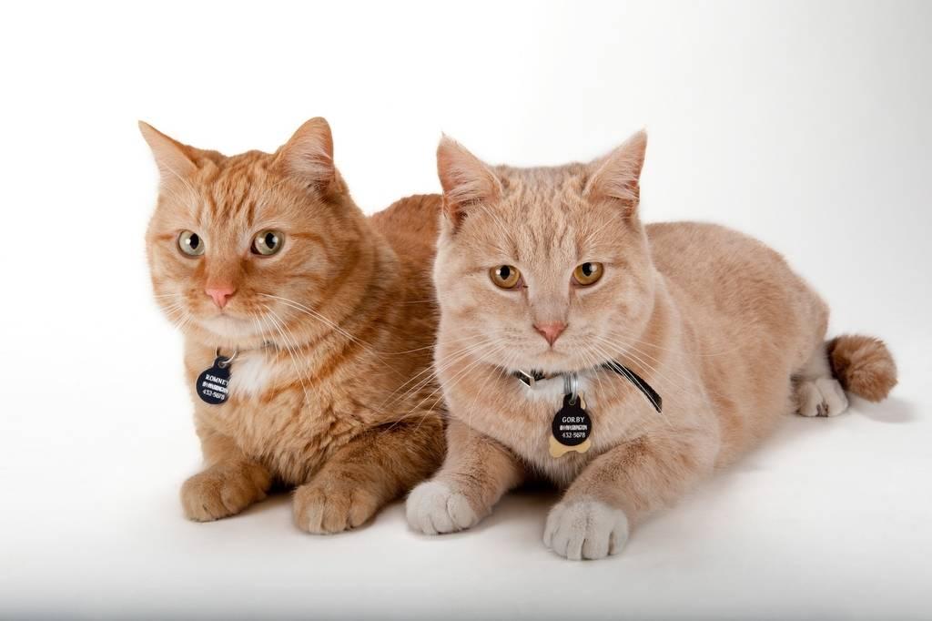 Photo: Romey and Gorby, orange tabby cats.