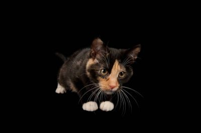 Photo: Cassie the calico cat at the Capital Humane Society in Lincoln.