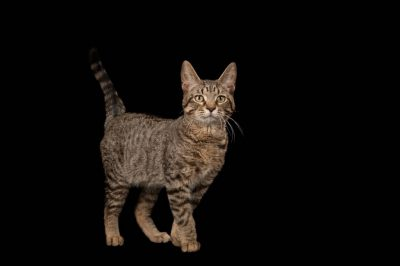 Photo: Downtown the tabby cat at at the Capital Humane Society in Lincoln.