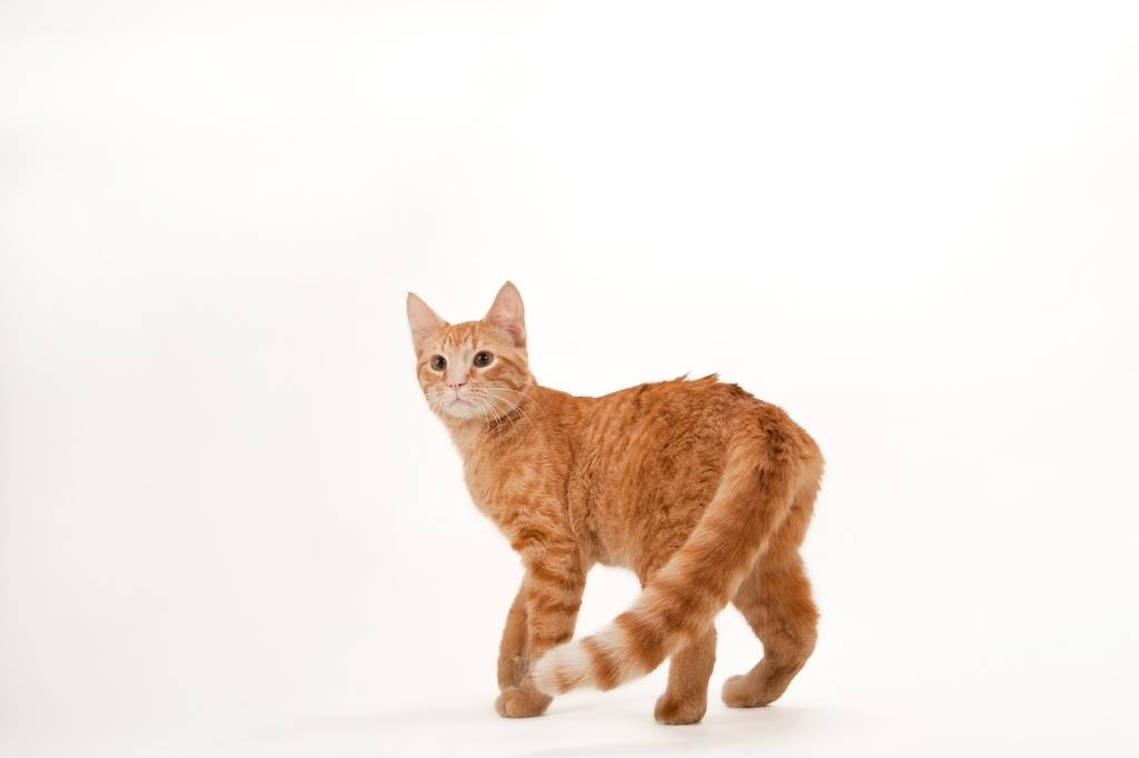 Photo: Daniel Tosh the orange tabby at the Capital Humane Society in Lincoln.