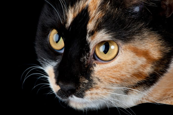 Photo: Beth a calico cat at the Humane Society in Lincoln.