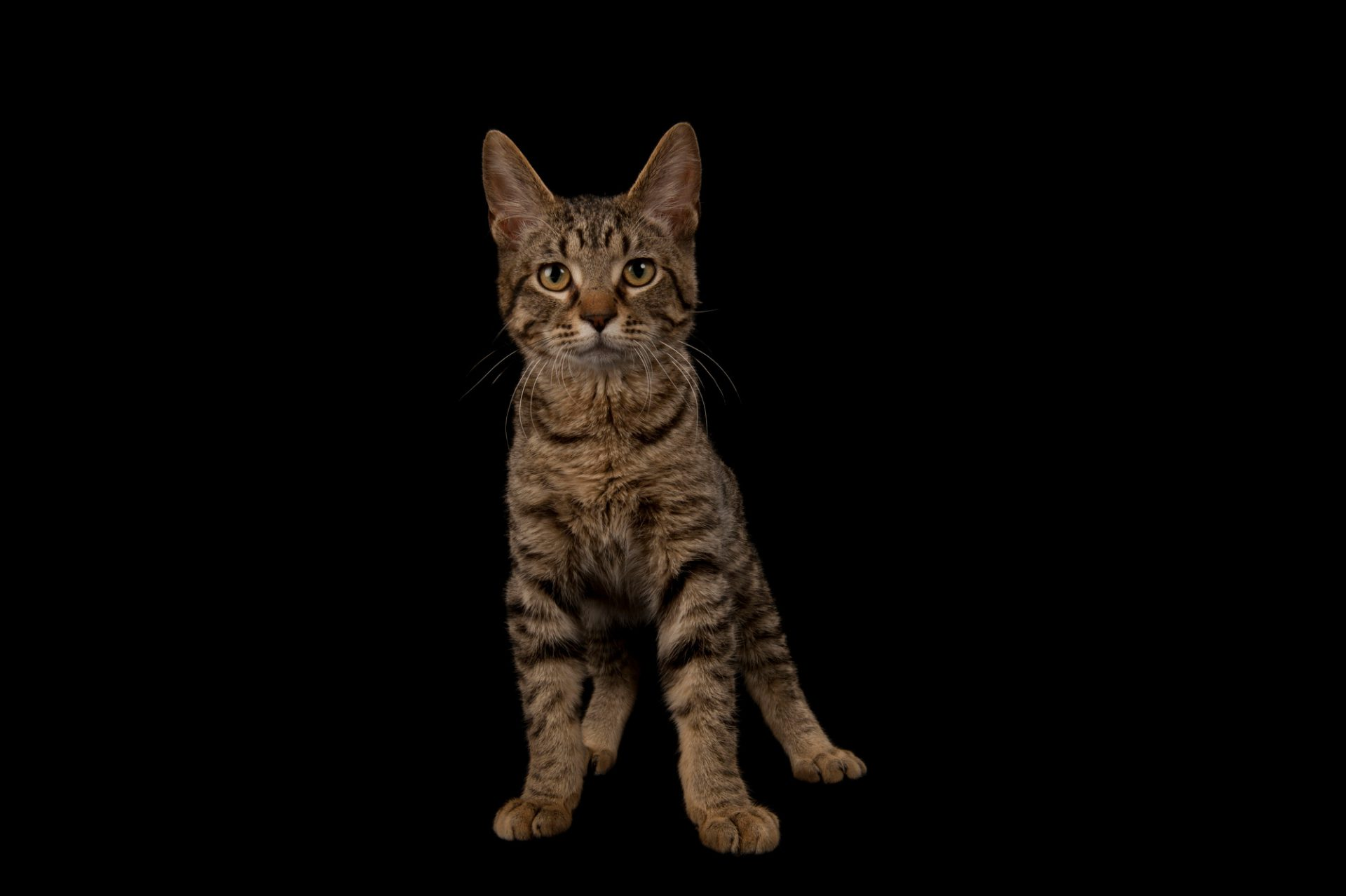 Photo: A tabby cat named Downtown at the Capital Humane Society in Lincoln.
