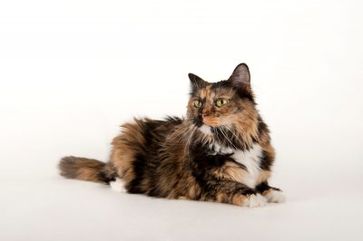 Photo: Chelsea a calico cat at the Humane Society in Lincoln.