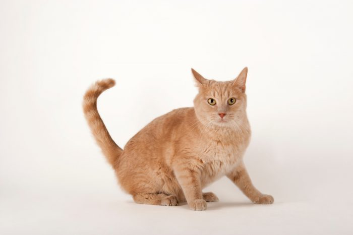 Photo: An orange tabby cat at the Capital Humane Society in Lincoln.