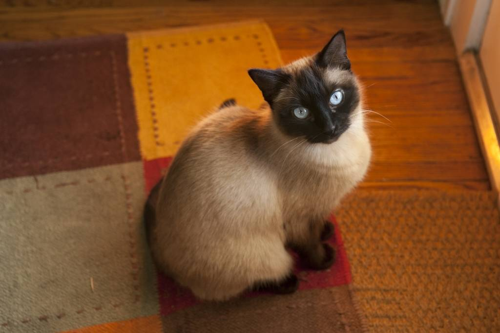 Photo: A siamese cat basks in the setting sunlight.