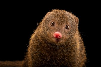 Photo: A Palawan mongoose (Herpestes semitorquatus palawanensis) at the Avilon Zoo.