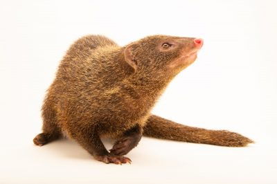 Photo: A Palawan mongoose (Herpestes semitorquatus palawanensis) at the Avilon Zoo.