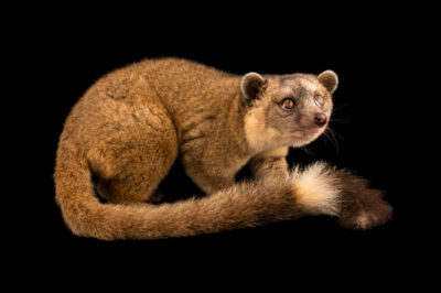 Photo: An olinguito (Bassaricyon neblina) at Zoologico de Quito.