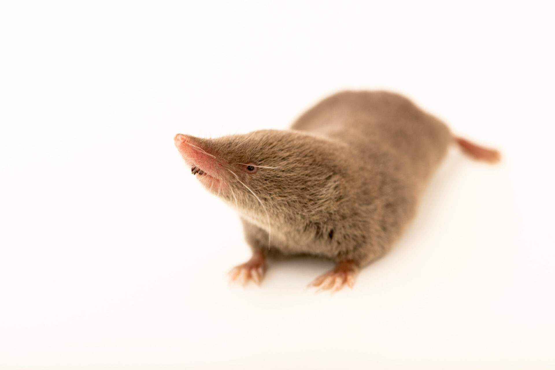 Photo: An Elliot's short-tailed shrew (Blarina hylophaga hylophaga) at the WildCare Foundation, a wildlife rehabber in Noble, Oklahoma.